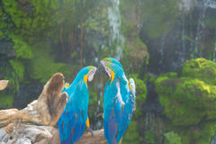 Blue and yellow Macaw bird clings to a tree branch, Royalty Free Stock Images