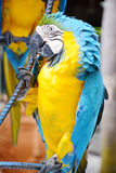 Blue and yellow macaw bird. Stock Photo