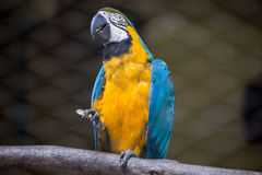Blue yellow macaw bird holds food in her claws. Stock Photo