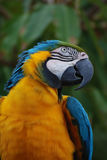 Blue and Yellow Macaw Bird on a Perch Stock Photos