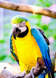 Blue and yellow Macaw bird Royalty Free Stock Image