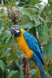 Blue and Yellow Macaw Bird in a Tree Royalty Free Stock Photo