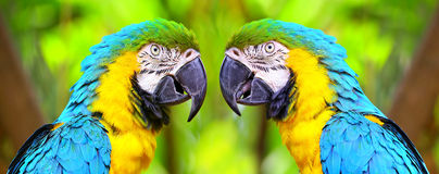 The blue and yellow macaw birds Stock Photos