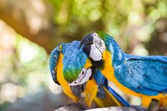 Macaw birds parrot. Blue and yellow macaw birds in the zoo macaw parrot ara ararauna Stock Photos