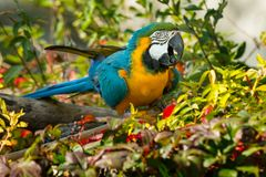 Blue-and-yellow Macaw - Ara ararauna. Native of South America, a captive Blue-and-yellow Macaw is perched on a branch eating a seed at the zoo. Toronto, Ontario royalty free stock images