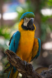 Blue and Yellow Macaw with blur background royalty free stock photos