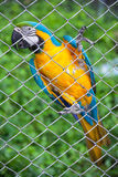 Blue and yellow macaw in cage Royalty Free Stock Photos