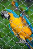 Blue and yellow macaw in cage Royalty Free Stock Photo