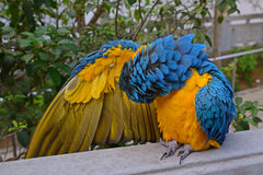 A blue-and-yellow macaw cleaning her own feathers while expanding her right wing Royalty Free Stock Photos