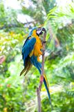 Blue and yellow macaw climbing up a branch Stock Photos