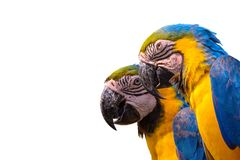 Blue and yellow macaw, macaw. Royalty Free Stock Images