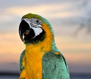 Blue and yellow macaw Royalty Free Stock Images