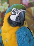 Blue-and-yellow Macaw. Closeup royalty free stock photo