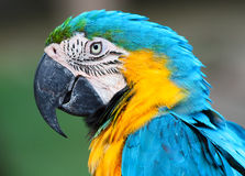 A blue and yellow macaw Royalty Free Stock Photos