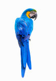 Blue and yellow macaw. Stock Photography