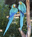 Blue and yellow macaw couple fighting in love Royalty Free Stock Photo