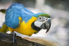 Blue yellow macaw. With detail royalty free stock image
