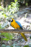 Blue yellow macaw. With detail royalty free stock photo