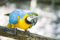 Blue yellow macaw. With detail stock images