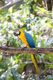 Blue yellow macaw. With detail stock image