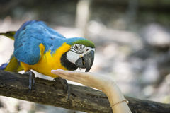 Blue yellow macaw. With detail stock photos