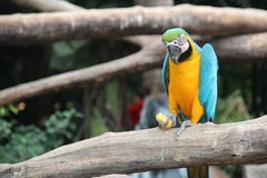 A blue and yellow macaw is eating corn Royalty Free Stock Photo