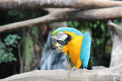 A blue and yellow macaw is eating corn Royalty Free Stock Images
