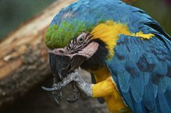 Blue and yellow macaw feeding from claw stock image