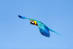 Blue And Yellow Macaw In Flight Stock Images