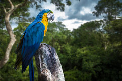Blue and Yellow Macaw on the forest Stock Images
