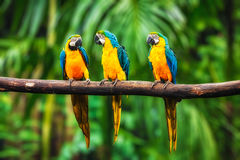 Blue-and-Yellow Macaw in forest royalty free stock photo