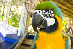 Blue and yellow macaw head close-up Royalty Free Stock Photo