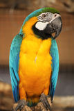 Blue and yellow macaw i Royalty Free Stock Photography