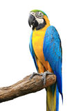 Blue yellow Macaw isolated Royalty Free Stock Photography