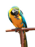Blue-and-yellow macaw isolated Royalty Free Stock Photography