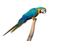 Blue-and-yellow macaw isolated on white Stock Photography