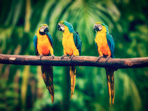 Blue-and-Yellow Macaw in jungle Stock Photos