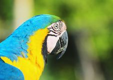 Blue-and-yellow macaw known as Arara-caninde in Brazil. Macaw with blue wings and yellow belly. Beautiful wild animal from Pantanal, Brazil Stock Photos