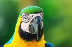 Blue-and-yellow macaw known as Arara-caninde in Brazil. Macaw with blue wings and yellow belly. Beautiful wild animal from Pantanal, Brazil Stock Images