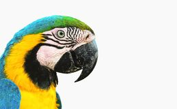 Blue-and-yellow macaw known as Arara Caninde isolated on white.  royalty free stock image