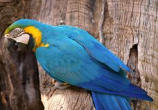 Parrot yellow and blue , ara ararauna, bird, royalty free stock image
