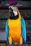 The blue-and-yellow macaw, is a large South American parrot with blue top parts and yellow under parts. (Ara ararauna) Royalty Free Stock Images