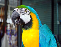 The blue-and-yellow macaw, is a large South American parrot (Ara ararauna) Stock Image