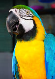 The blue-and-yellow macaw, is a large South American parrot (Ara ararauna) Royalty Free Stock Photos