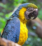 Blue and yellow macaw 1 Royalty Free Stock Images