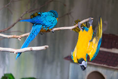 Blue and Yellow Macaw. A loving couple of Macaw Stock Photos