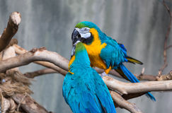 Blue and Yellow Macaw. A loving couple of Macaw Royalty Free Stock Images