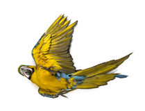 Blue-and-yellow Macaw lying on his back Stock Photography