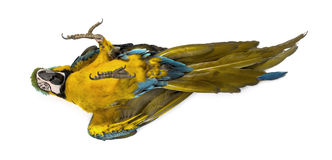 Blue-and-yellow Macaw lying on his back Royalty Free Stock Image