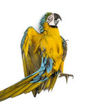 Blue-and-yellow Macaw lying on his back. Isolated on white Stock Photos